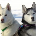 """Bear"" and ""Autumn"" owned by Jim and Lynda Garlitz.  Fl Green Klondike collar and Purple Alaskan Collar."